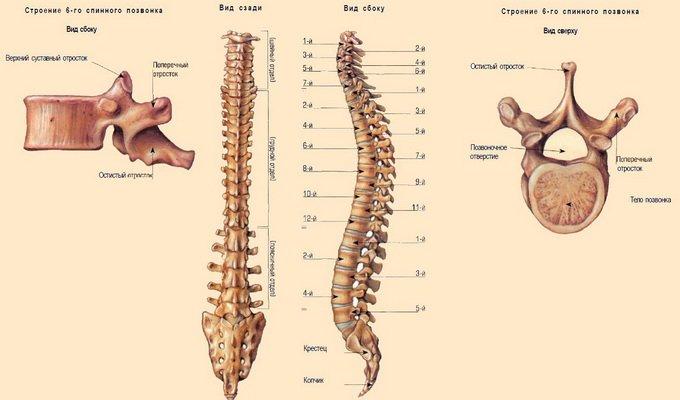 Кости которые образуют позвоночник человека